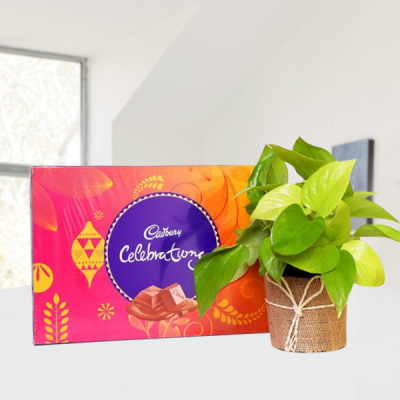 Money Plant with Cadbury Celebrations