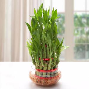 Good Luck Three Layer Bamboo Plant