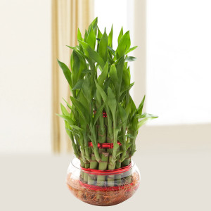 Three Layer Lucky Bamboo Plant